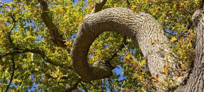 Fibonacci träd